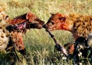 Two Hyenas for one bone