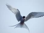 Iceland – Arctic Terns