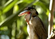 Costa Rica – Boat-billed Heron