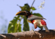 Pantanal – Chestnut-eared Araçari
