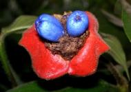 Costa Rica Psychotria