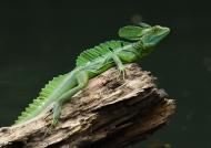 Nicaragua – Emerald Basilisk