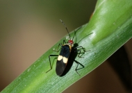 Lygeid Bug