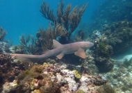 Nicaragua – Nurse Shark