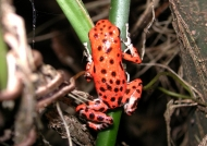 Red Frog (Panama)