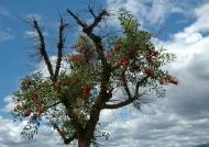Argentina Ceibo tree (national flowers)