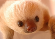 Sloth nursery