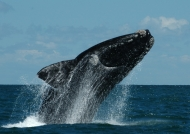 Argentina – Valdes – Southern Right Whale