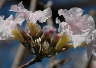 Panama Savannah Oak