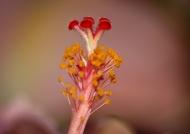 Hibiscus Pistil