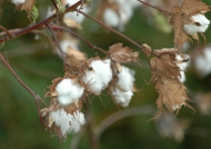 Panama  Upland Cotton