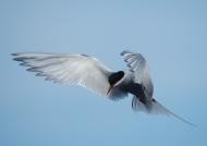 Iceland-Arctic Tern