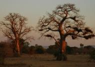 Zambia – Baobab