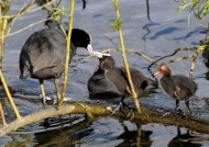 Common Coot family