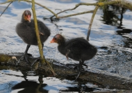 Common Coot chicks
