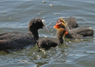 Common Coot and chicks