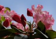 Scotland – rhododendron
