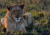 Inquiring Lion