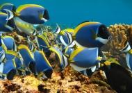 Seychelles – Powder-blue Surgeons