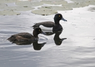 Tufted Duck – couple