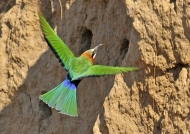 Zambia – White-fronted Bee-eater