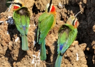 Zambia – White-fronted Bee-eater-Nests