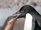 Antarctica – Adelie Penguins