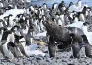 fur seal & Adelie penguins