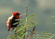 Black-winged Red Bishop