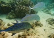 Shoal of Bluefin Trevallys