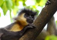 Capped Langur – Manas NP
