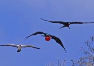 Frigatebirds & Masked Booby