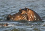 Hippo «spy»