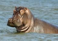 Inquisitive Hippo