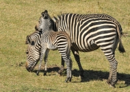 Female Zebra with its Foal