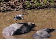 Grey Heron on Hippo