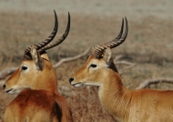 Male impalas