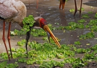 Yellow-billed Stork (new style)