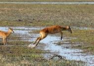 Female Puku jumping
