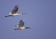 Yellow-billed Stork & Ibis