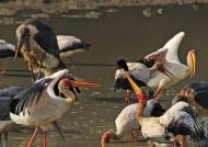 Yellow-billed Storks fishing
