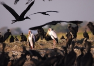 Yellow-billed Storks/Openbills