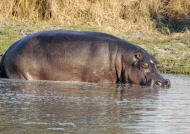 Hippo before « rolling »
