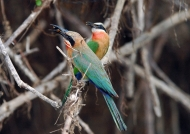 White-fronted Bee-eaters