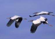 American Wood Storks