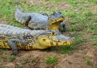 Yacare caimans