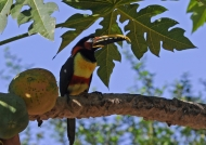 Chestnut-eared Araçari