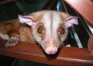Tamed Woolly Opossum
