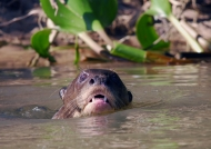 Giant Otter swimming