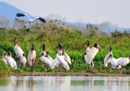 Meeting of Jabiru Storks